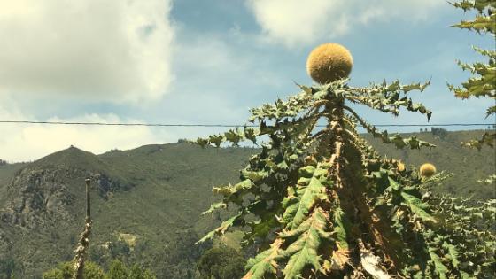 pianta colombia las gachas santander quebrada vicino a san gil